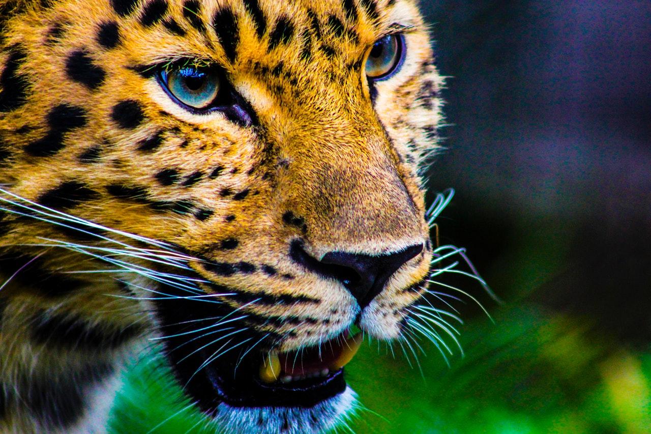 iota Jaguar